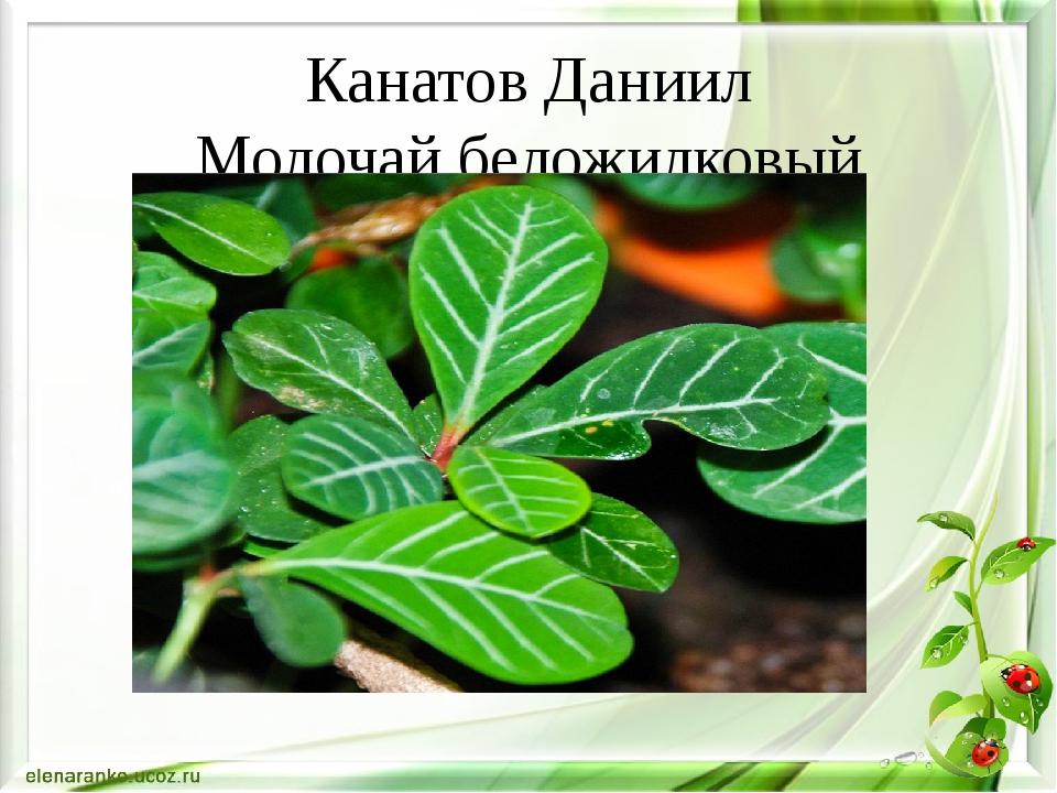 Канатов Даниил Молочай беложилковый