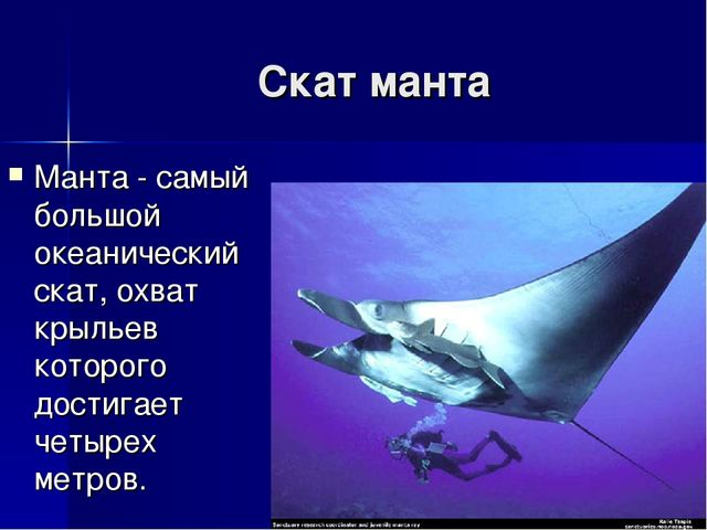 Скат манта Манта - самый большой океанический скат, охват крыльев которого до...