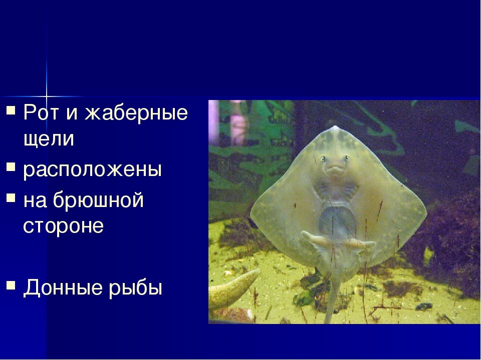 Рот и жаберные щели расположены на брюшной стороне Донные рыбы