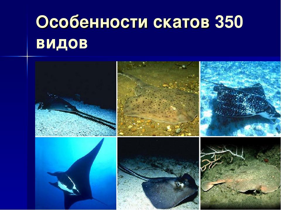Особенности скатов 350 видов