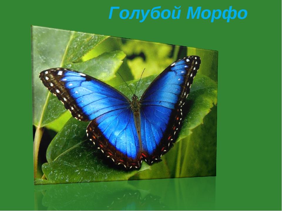 Голубой Морфо