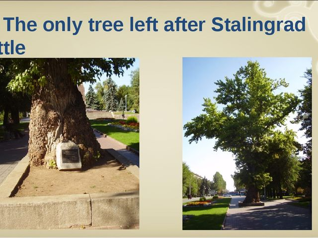 The only tree left after Stalingrad Battle