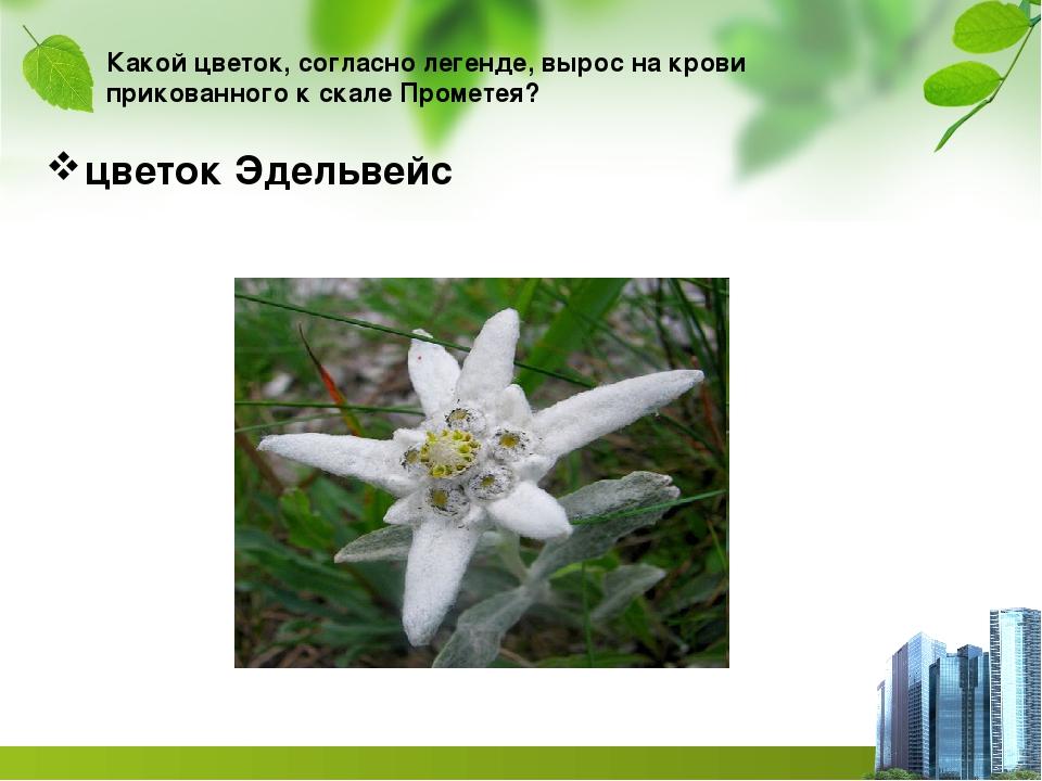Какой цветок, согласно легенде, вырос на крови прикованного к скале Прометея?...