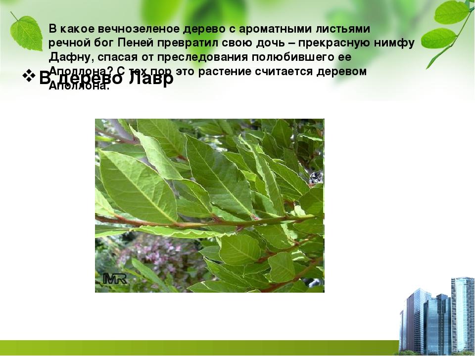 В какое вечнозеленое дерево с ароматными листьями речной бог Пеней превратил...