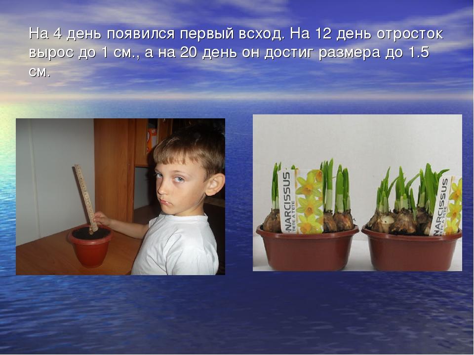 На 4 день появился первый всход. На 12 день отросток вырос до 1 см., а на 20...