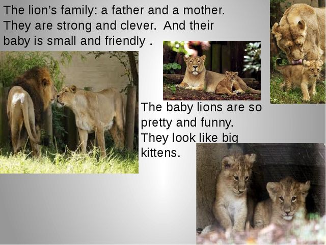 The lion's family: a father and a mother. They are strong and clever. And the...