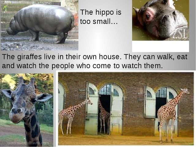 The hippo is too small… The giraffes live in their own house. They can walk,...
