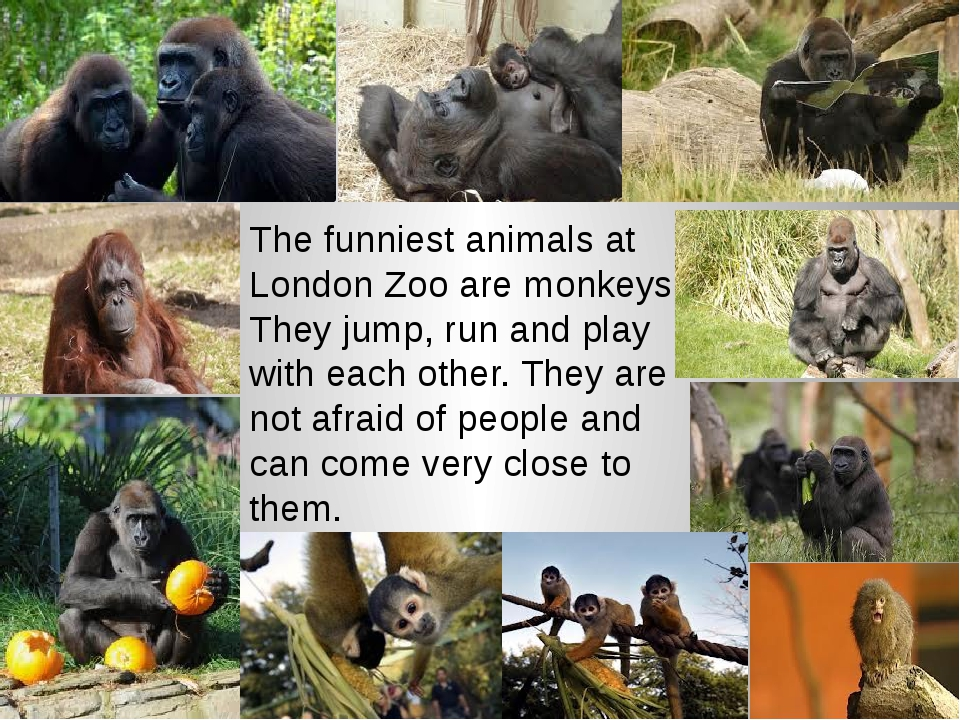 The funniest animals at London Zoo are monkeys. They jump, run and play with...