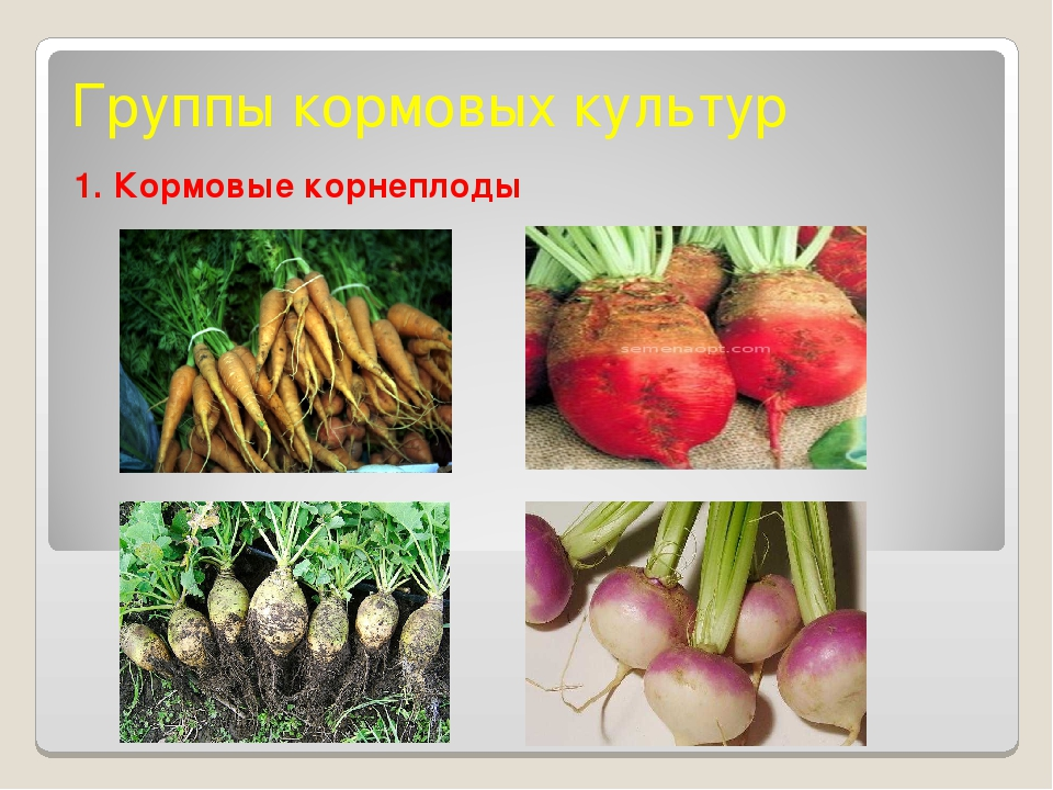 Группы кормовых культур 1. Кормовые корнеплоды