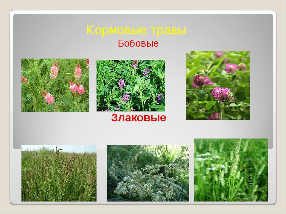 Кормовые травы Бобовые Злаковые
