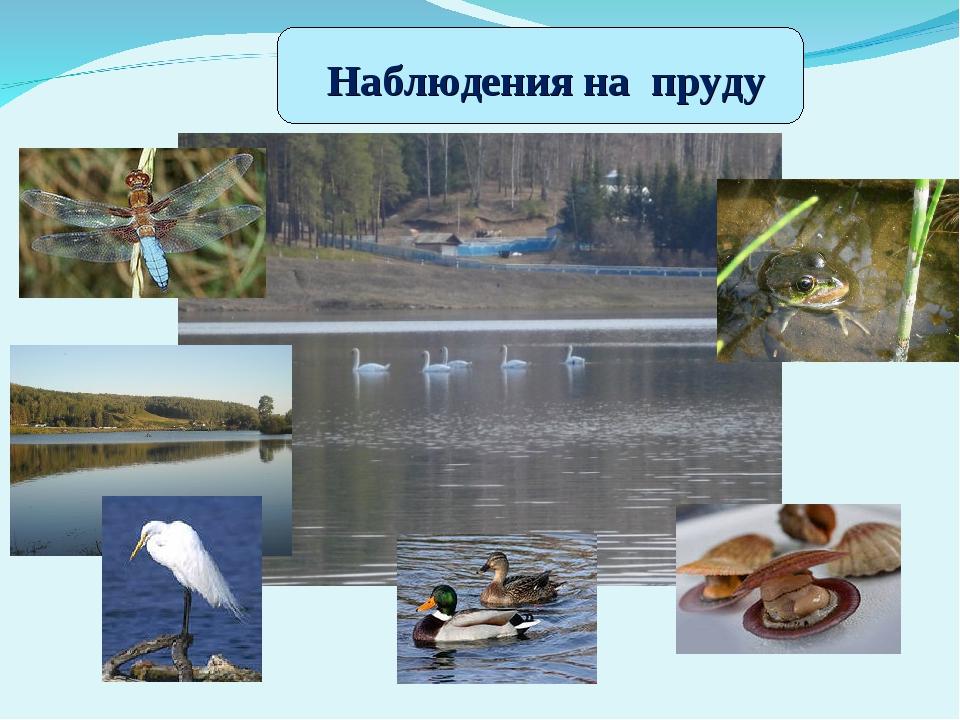 Наблюдения на пруду