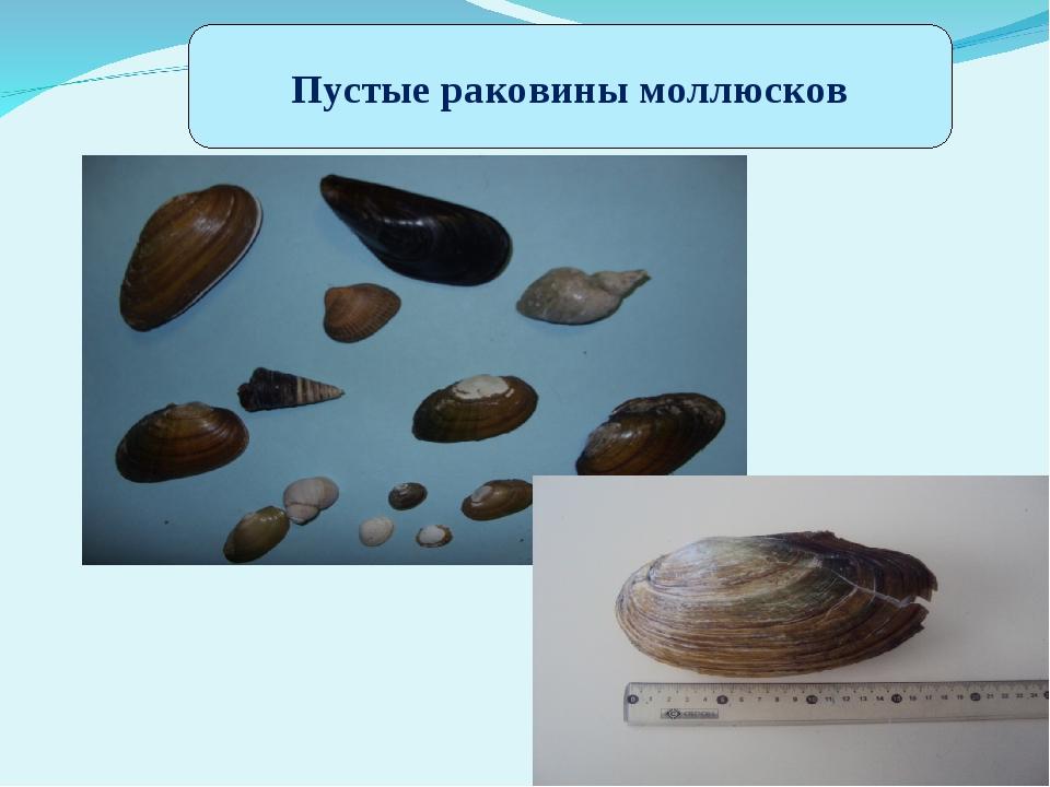 Пустые раковины моллюсков