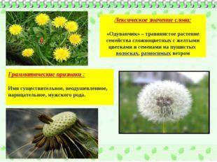Лексическое значение слова: «Одуванчик» – травянистое растение семейства слож