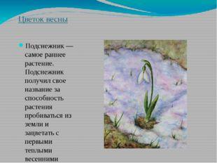 Цветок весны Подснежник — самое раннее растение. Подснежник получил свое назв