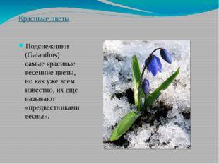 Красивые цветы Подснежники (Galanthus) самые красивые весенние цветы, но как