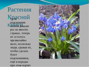 Растения Красной книги Если подснежник лесной раньше рос во многих странах, т