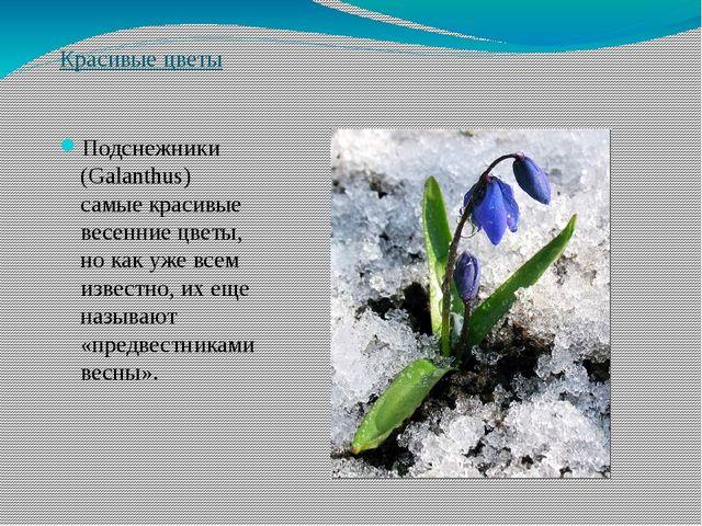 Красивые цветы Подснежники (Galanthus) самые красивые весенние цветы, но как...