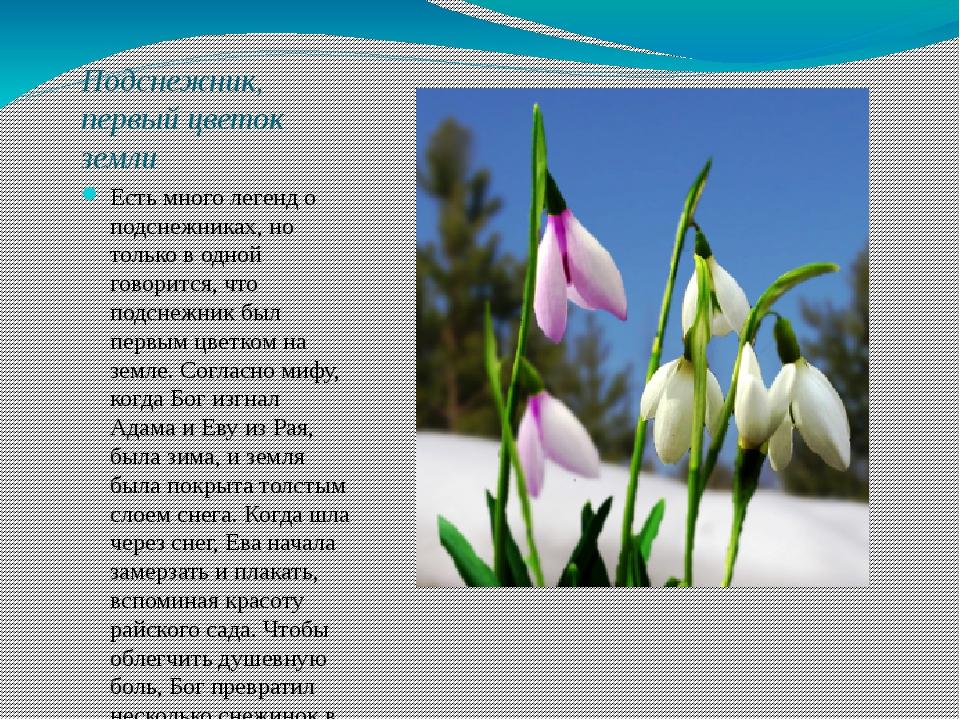 Подснежник, первый цветок земли Есть много легенд о подснежниках, но только в...