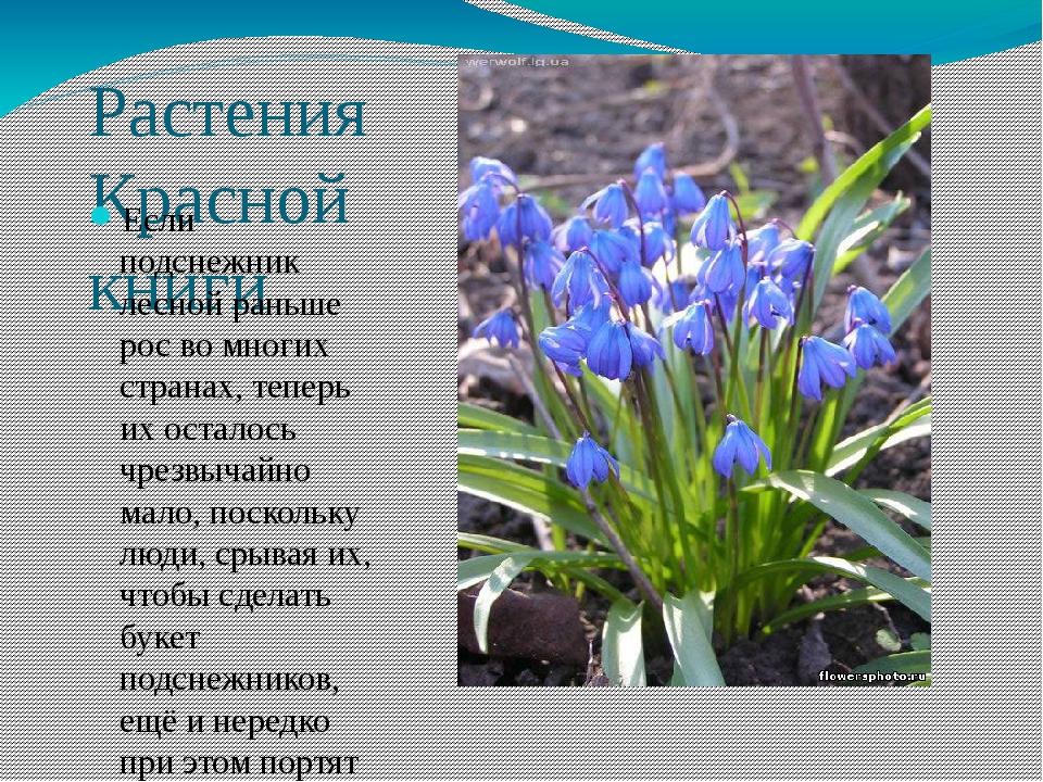 Растения Красной книги Если подснежник лесной раньше рос во многих странах, т...