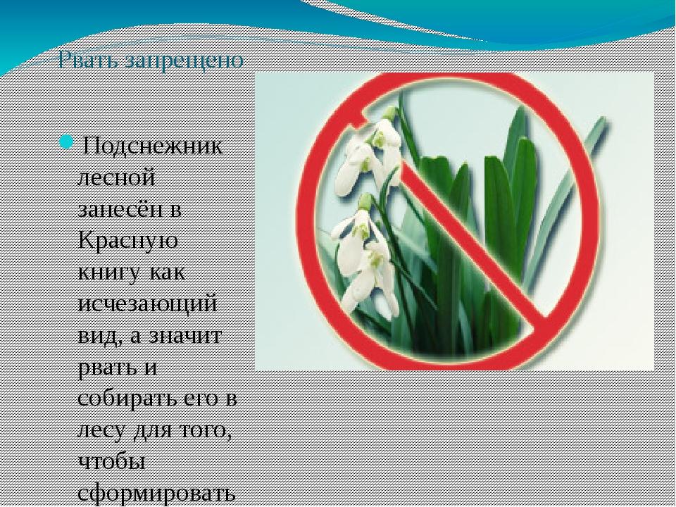 Рвать запрещено Подснежник лесной занесён в Красную книгу как исчезающий вид,...