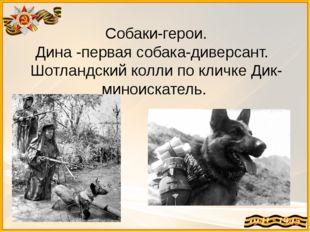 Собаки-герои. Дина -первая собака-диверсант. Шотландский колли по кличке Дик