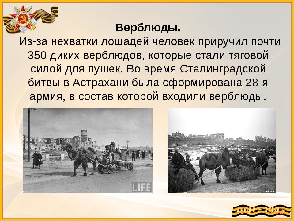 Верблюды. Из-за нехватки лошадей человек приручил почти 350 диких верблюдов,...