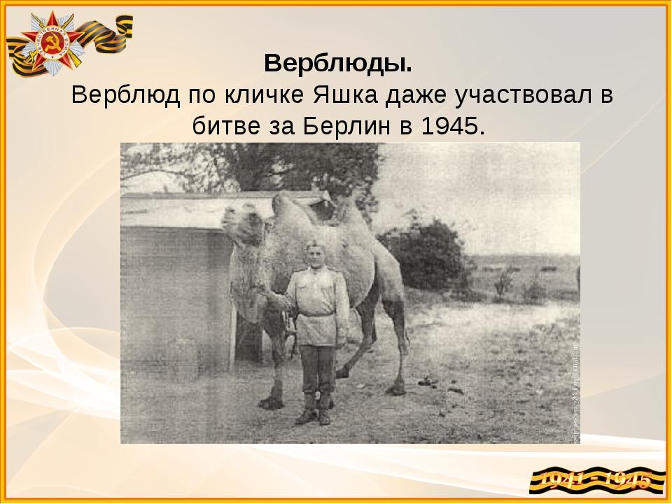Верблюды. Верблюд по кличке Яшка даже участвовал в битве за Берлин в 1945.
