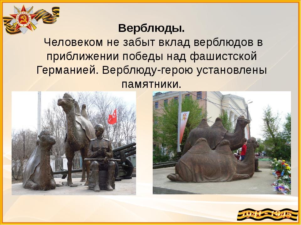 Верблюды. Человеком не забыт вклад верблюдов в приближении победы над фашистс...