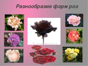Разнообразие форм роз