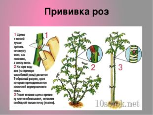 Прививка роз