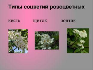 Типы соцветий розоцветных кисть щиток зонтик