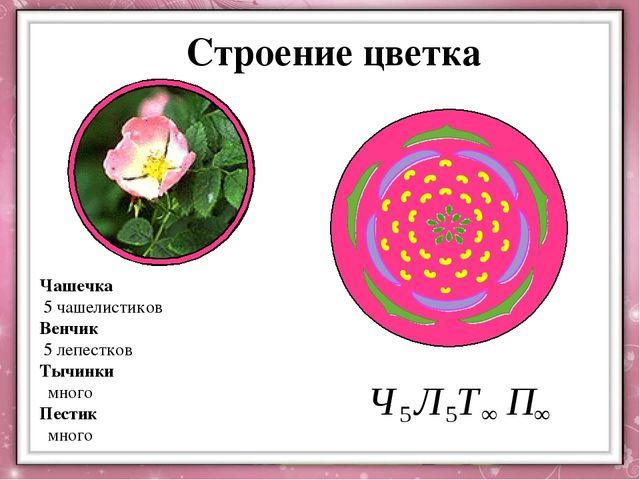 Чашечка 5 чашелистиков Венчик 5 лепестков Тычинки много Пестик много Строение...