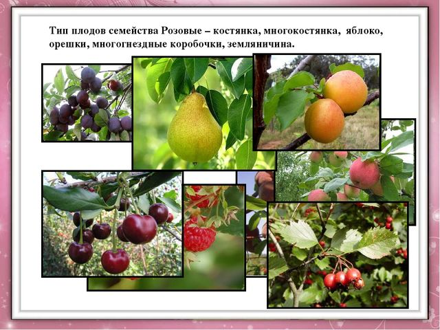 Тип плодов семейства Розовые – костянка, многокостянка, яблоко, орешки, мног...