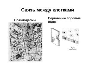 Связь между клетками Плазмодесмы Первичные поровые поля