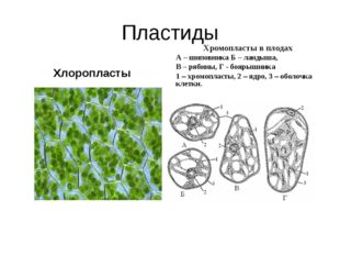Пластиды Хлоропласты Хромопласты в плодах А – шиповника Б – ландыша, В – ряби