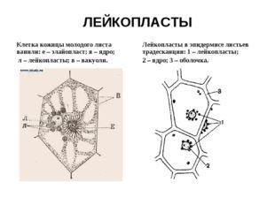ЛЕЙКОПЛАСТЫ Клетка кожицы молодого листа ванили: e – элайопласт; я – ядро; л