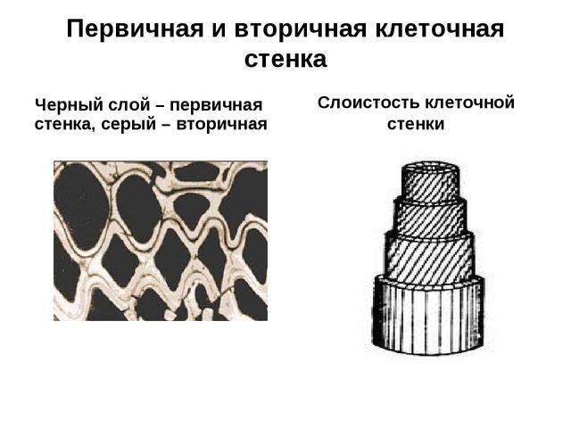 Первичная и вторичная клеточная стенка Черный слой – первичная стенка, серый...
