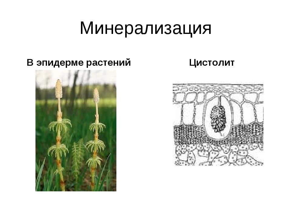 Минерализация В эпидерме растений Цистолит