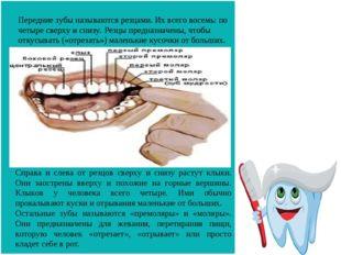Передние зубы называются резцами. Их всего восемь: по четыре сверху и снизу.