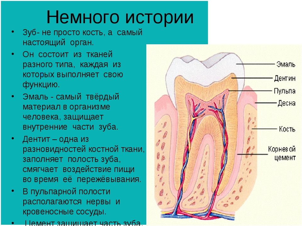 Немного истории Зуб- не просто кость, а самый настоящий орган. Он состоит из...