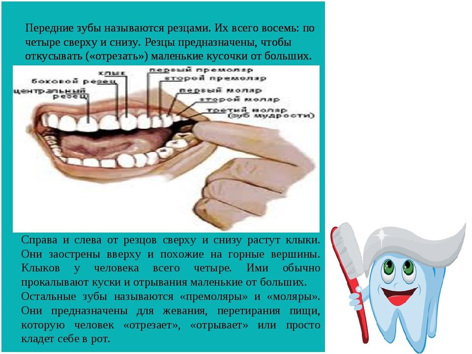 Передние зубы называются резцами. Их всего восемь: по четыре сверху и снизу....