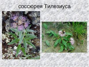 соссюрея Тилезиуса