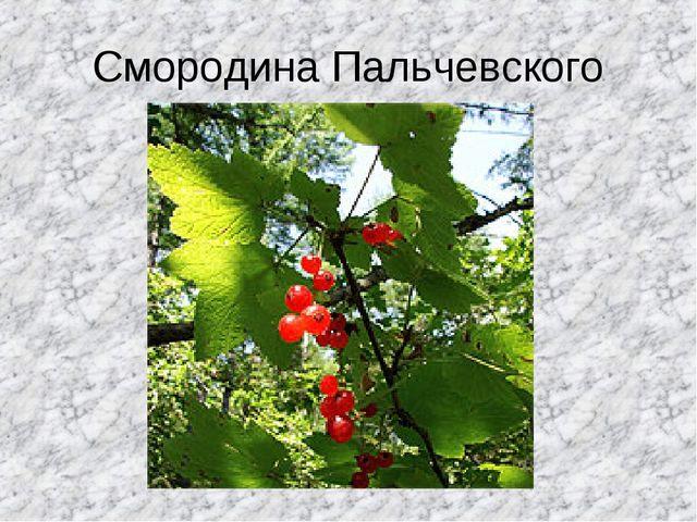 Смородина Пальчевского