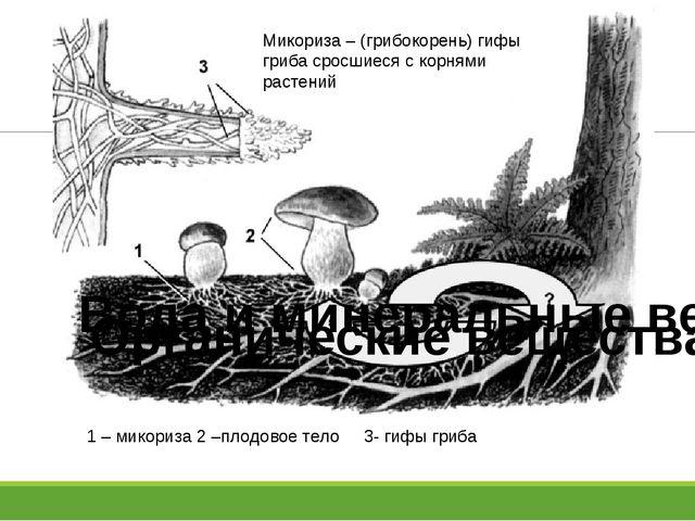 Вода и минеральные вещества Органические вещества Микориза – (грибокорень) г...