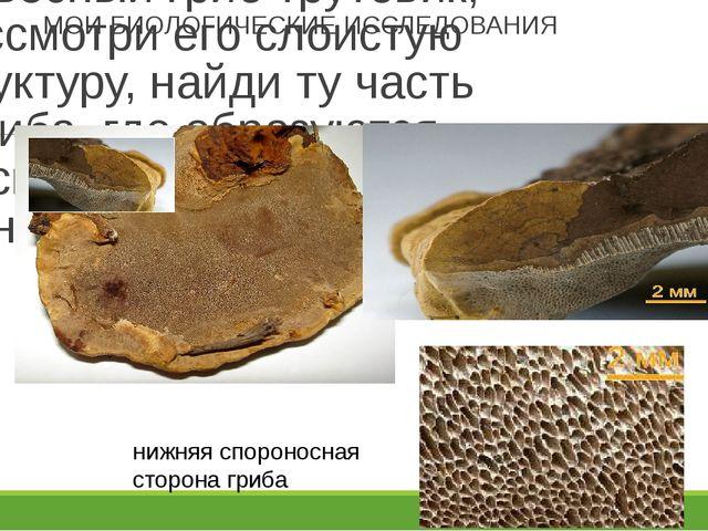 МОИ БИОЛОГИЧЕСКИЕ ИССЛЕДОВАНИЯ Разруби или распили древесный гриб трутовик, р...