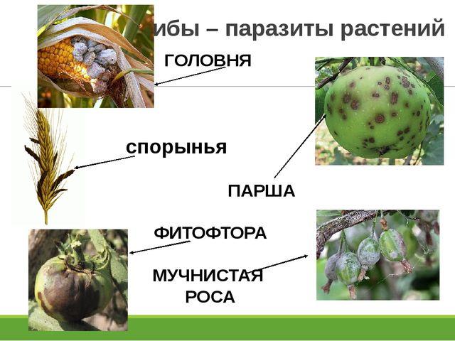 Грибы – паразиты растений ГОЛОВНЯ спорынья ПАРША ФИТОФТОРА МУЧНИСТАЯ РОСА