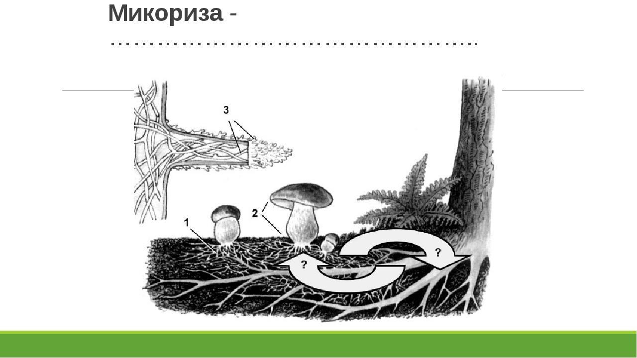 Микориза -………………………………………..