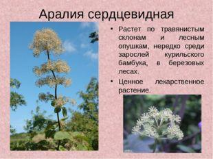 Аралия сердцевидная Растет по травянистым склонам и лесным опушкам, нередко с