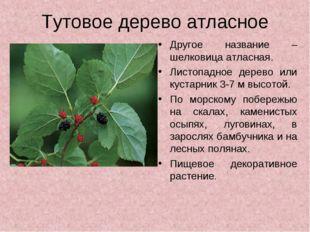 Тутовое дерево атласное Другое название – шелковица атласная. Листопадное дер