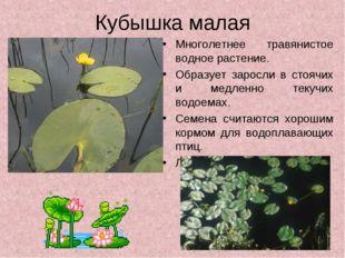 Кубышка малая Многолетнее травянистое водное растение. Образует заросли в сто